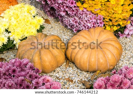 Beautiful Decorative Pumpkins. Autumn decoration for park and garden for the holiday. Autumn decor. Pumpkins and chrysanthemum flowers. Halloween, Thanksgiving, decoration  #746144212