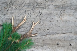 Beautiful deer antlers and pine twig on rustic wooden background. Space for text, flat lay