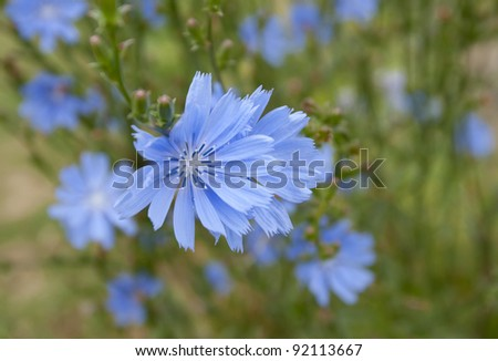 Beautiful delicate blue wild flower