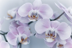 Beautiful delicate orchid flowers shot in soft light