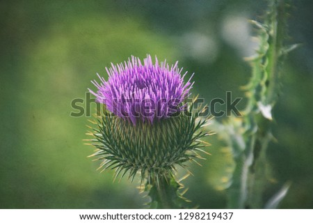 beautiful delicate purple flower thistle flower on a green background in summer day #1298219437