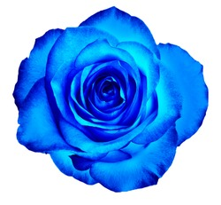 Beautiful delicate rose bud flower of a classic blue color isolated on a white background.