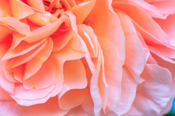Beautiful delicate rose flower petals, close up. Pale pink color rose bloom var. Chippendale. Fragrant blooms in living coral colo. Pastel orange flower petals background.