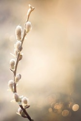 Beautiful delicate Spring nature Background with pussy willow branch. Blooming Willow branch tree closeup on blur natural background. Vertical Spring Template With Copy Space for design