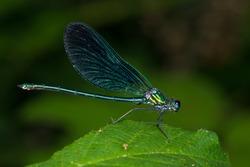 Beautiful demoiselle, Calopteryx virgo, blue dragonfly, odonata.