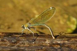 Beautiful demoiselle (Calopteryx virgo) damselfly: female