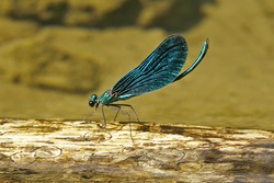 Beautiful demoiselle (Calopteryx virgo) damselfly: male