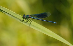 Beautiful demoiselle, Calopteryx virgo dragonfly sitting on a grass leaf