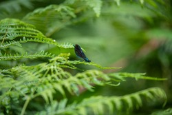 Beautiful demoiselle (Calopteryx virgo) (Male) on bracken