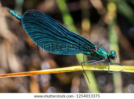 beautiful demoiselle sits on a grass stalk