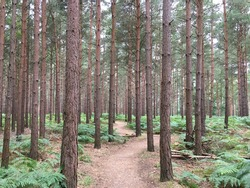 Beautiful dense pine forest with a single meandering track running through.
