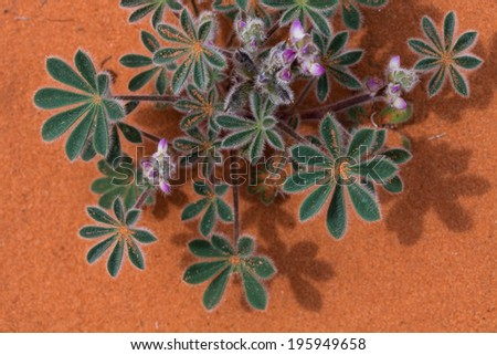 Beautiful desert flower with a sandy back drop