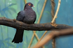 Beautiful detail close-up portrait of birds with yellow red eyes. Scaly-naped Pigeon, Patagioenas squamosa, wood pigeon, Sulawesi, Indonesia. Rare bird from Asia, green vegetation.