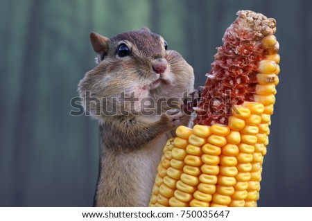 Beautiful detail in nature. Small and lovely ground squirrel closeup. A small squirrel enjoys eating corn. Peaceful, relaxing, amazing and funny. Green trees in the background. #750035647