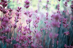 Beautiful detail of scented lavender flowers field perfect Radiant Orchid color in Provence France. Image for agriculture, perfume, cosmetics SPA, medical industries and diverse advertising materials