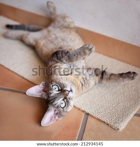 Beautiful devon rex cat laying on a scratching board