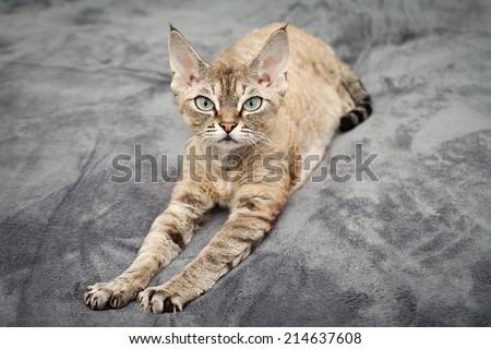 Beautiful devon rex cat laying on soft blanket Foto d'archivio ©