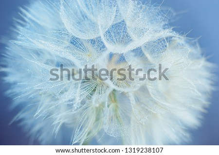 Beautiful dew drops on a dandelion seed macro. Water drops on a parachutes dandelion. Copy space. soft focus on water droplets. circular shape, abstract background.