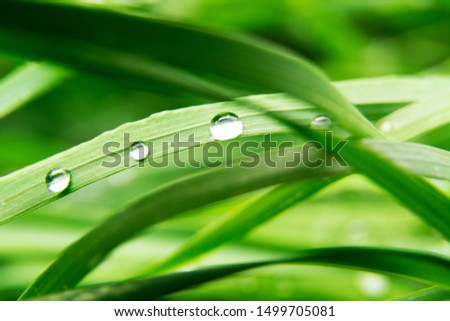 Beautiful dew drops on green grass leaf close up. Three drops of dew. Drops of dew in morning meadow Leaf grass in rain, nature scene. Summer abstract background. Ecology, earth day. #1499705081