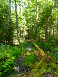 Beautiful dirt trail lined with ferns at Blackwater Falls State Park in West Virginia.