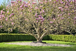 Beautiful distant view of wide low growing pink Chinese saucer magnolia (Magnolia Soulangeana) tree blossoms, with round gray stone mulching, blooming on university campus, Dublin, Ireland