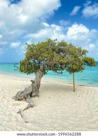 Beautiful divi divi tree Aruba Photo stock ©