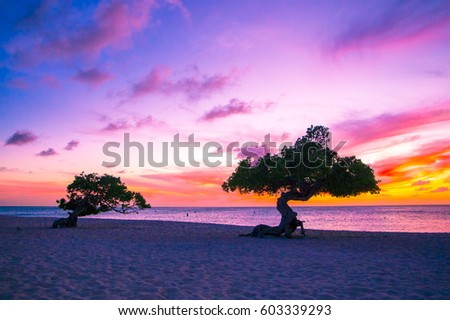 Beautiful divi divi trees at sunset on beach in Aruba Photo stock ©
