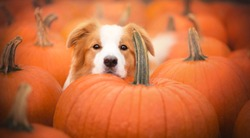 Beautiful dog and pumpkins at autumn