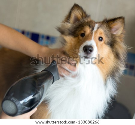 Beautiful dog being groomed at a spa with a hairdryer