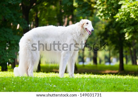 Beautiful dog breed Russian Borzoi standing on the grass lit by the sun