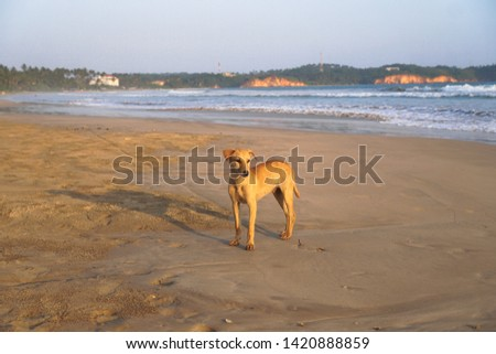 Beautiful dog by the sea or ocean. An animal on the shores of the Indian Ocean in Shrilanka. The pet walks free. #1420888859