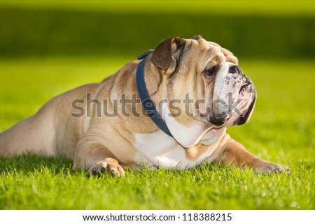 Beautiful dog english bulldog portrait in a field - stock photo