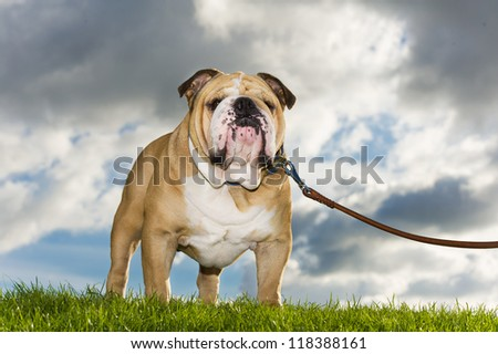 Beautiful dog english bulldog walking on a leash