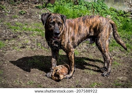 beautiful dog, friends, games, play, wrestle, garden, guard, garden, brown dog, big dog, white, green grass, home, countryside, happy pet, a loyal friend