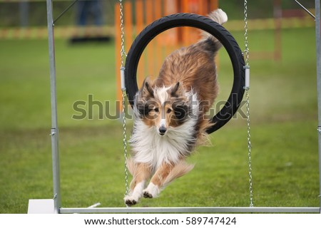 Beautiful dog in motion. Rough Collie jump through agility hoop, he is in long jump landing on grass.