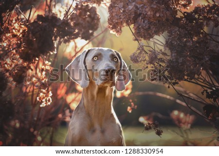 Beautiful dog in spring. Weimaraner with flowers.  #1288330954