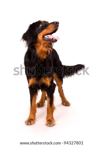 Beautiful dog, isolated on white background