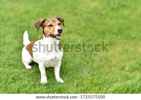 beautiful dog jack russell terrier Foto stock ©