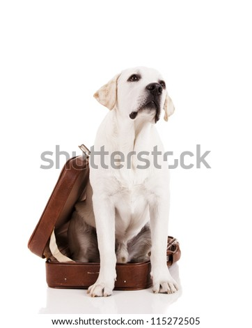Beautiful dog of breed Labrador retriever sitting inside a open baggage