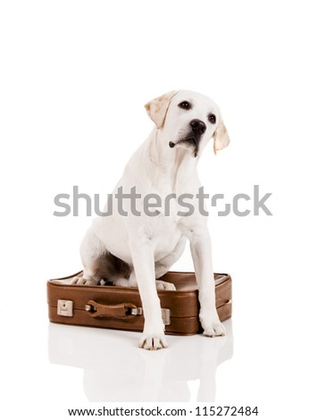 Beautiful dog of breed Labrador retriever sitting over a baggage