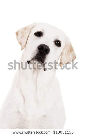 Beautiful dog of breed Labrador sitting and isolated on white