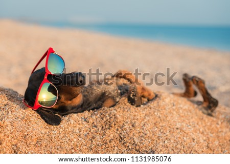 beautiful dog of dachshund, black and tan, buried in the sand at the beach sea on summer vacation holidays, wearing red sunglasses #1131985076