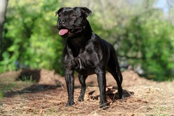 Beautiful dog of Staffordshire Bull Terrier breed, black color, smiling face, tongue out, proud look, standing on autumn park background. Outdoors, copy space.