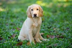 Beautiful dog puppy Labrador Retriever playing on the lawn