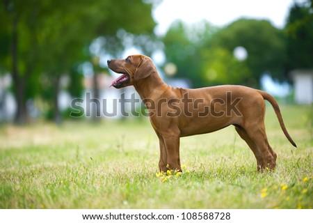 Beautiful dog rhodesian ridgeback puppy playing outdoors