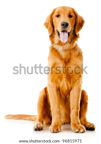 Shutterstock Beautiful dog sitting down - isolated over a white background
