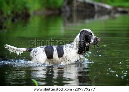 Beautiful dog walks on water