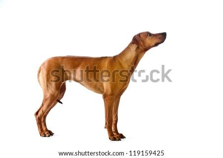 Beautiful dog young rhodesian ridgeback standing isolalted