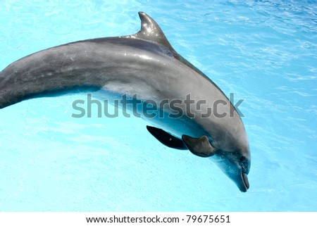 Beautiful dolphin swimming in the blue water #79675651