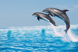 Beautiful dolphins swimming. Dolphin jumping above blue water